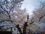 22年公園の桜
