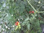Aトマト1003