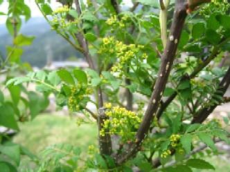 山椒の花3