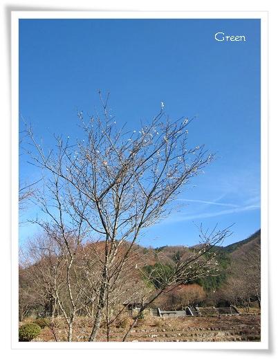 350fuyusakura101206g1.jpg