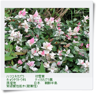 350hatuyukikazura0831a2.jpg