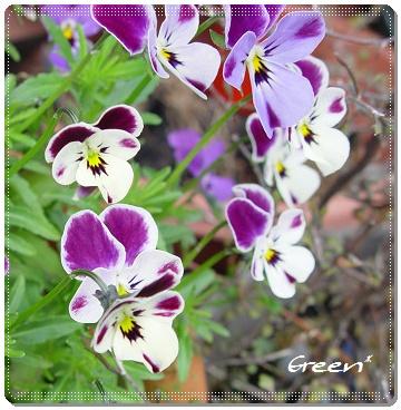 350viola20110502z1.jpg
