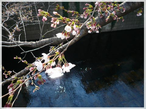 sakura20110330001.jpg