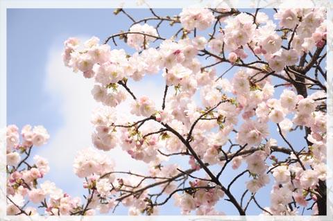 sakura20110416003.jpg
