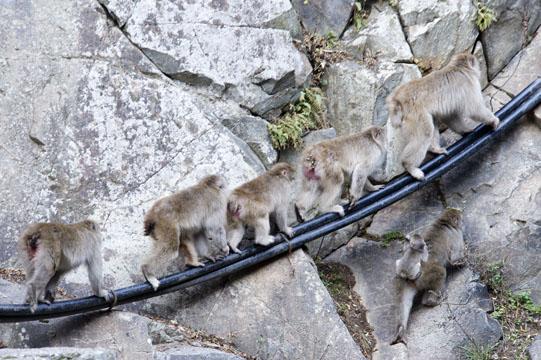 Monkey, Jigokudani, Nagano