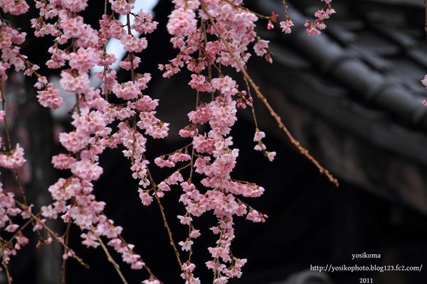 桜撮影会5