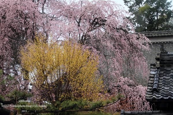 桜撮影会2