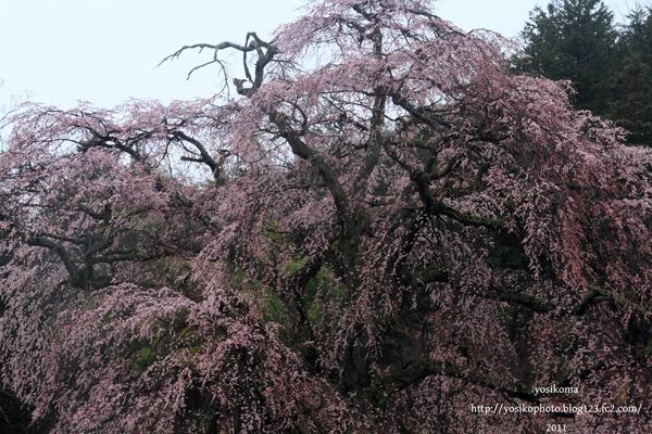 桜撮影会3