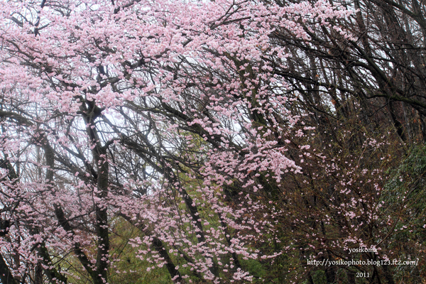 桜撮影会1