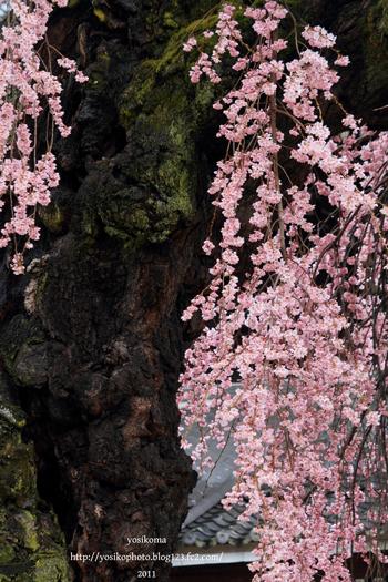 桜撮影会4