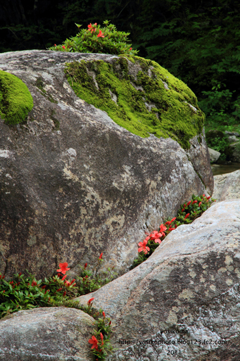 岩ツツジ1