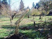 モモ苗木の防寒H201129