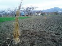 モモ苗木の植え付けH201211