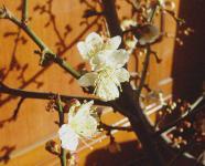 小梅の花h210125
