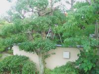 庭木の手入れH210623