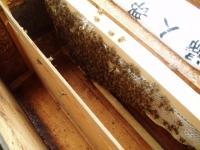日本ミツバチその2H210628