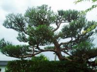 三松園の松の手入れH210706