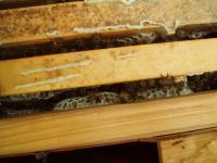 日本ミツバチ繁殖中H210719