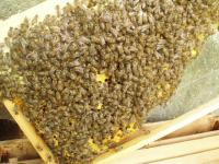 日本ミツバチの状況H210805