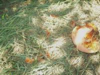 白桃被害果H210814