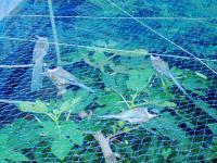 網に入ったオナガドリH210831