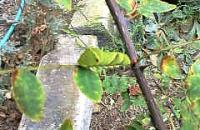 アゲハチョウ幼虫H210922