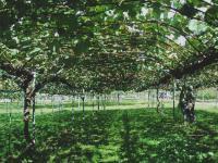 果樹試験場公開ブドウ圃場H211010