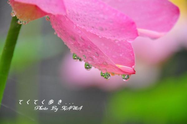 6古代ハス_9412