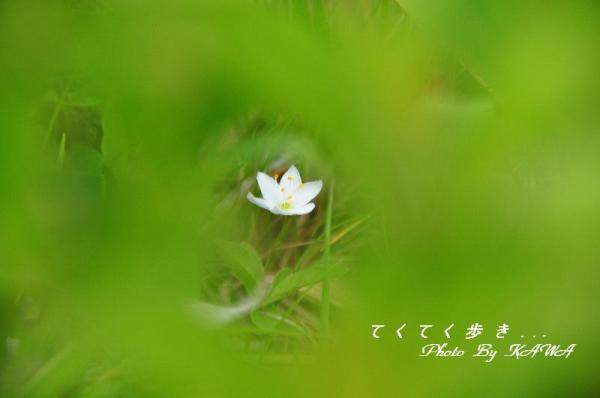 1ツマトリソウ瓶ヶ森10.06.19