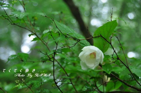 4オオヤマレンゲ天狗の森10.06.27