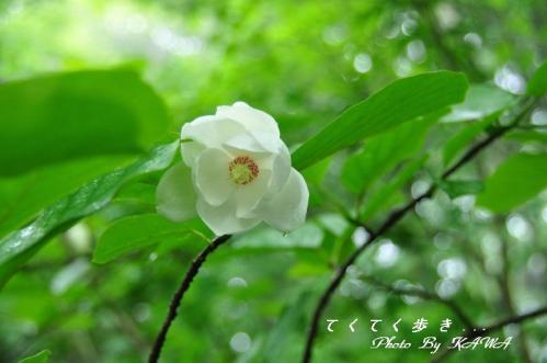5オオヤマレンゲ天狗の森