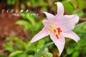 5ササユリ_9651