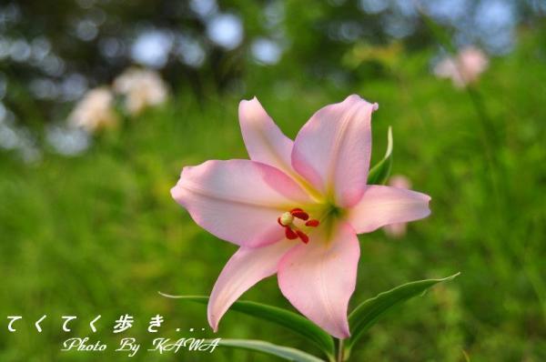 7ササユリ_9656