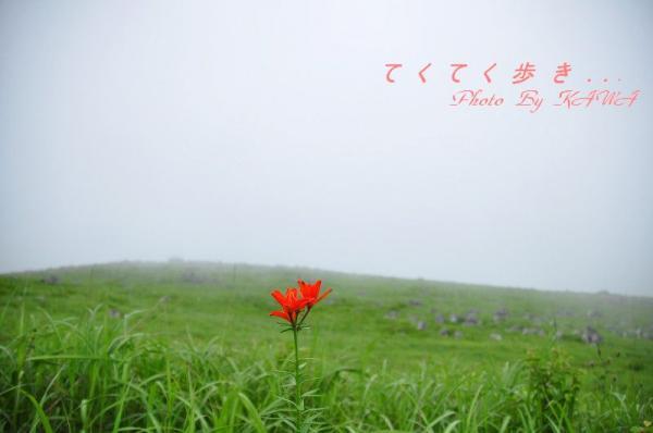 1ヒメユリ_1105