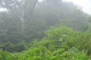 2林道沿いナンゴククガイソウ