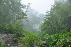 3林道沿いシモツケソウ
