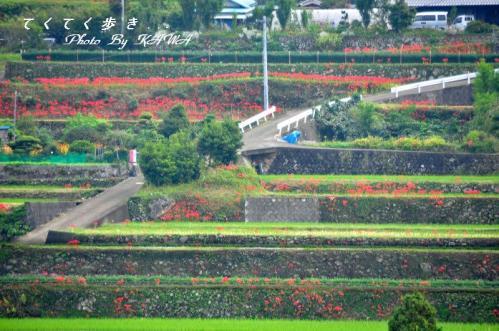 川内彼岸花10.10.04