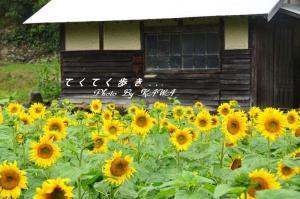 9鬼北向日葵