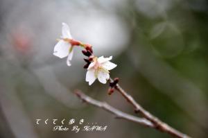 5フユザクラ10.12.26