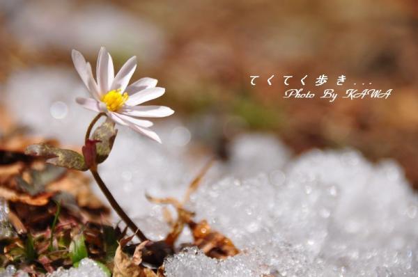 1ユキワリイチゲ11.02.26