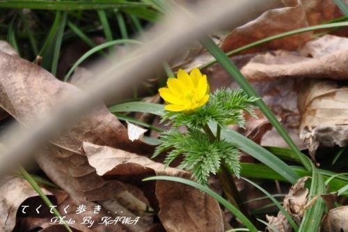 5福寿草11.02.27