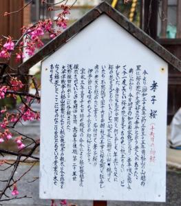4孝子桜11.03.07
