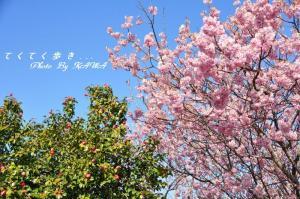 6ヒガンザクラ寒椿