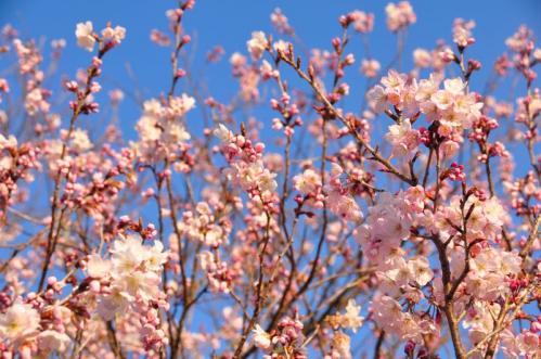 3十六日桜11.03.16