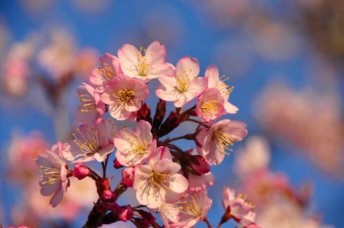 4十六日桜11.03.16