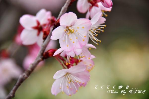 1十六日桜11.03.20