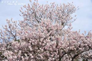 2十六日桜11.03.20