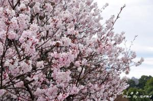 3十六日桜11.03.20