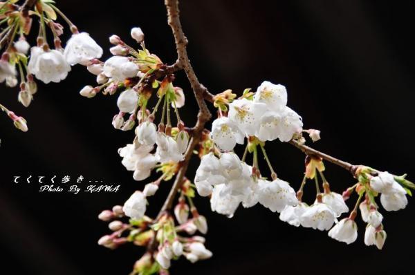 4うば桜11.03.21