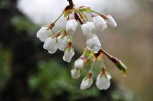 7うば桜11.03.21